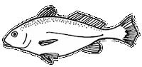 ackfish - Version 2a